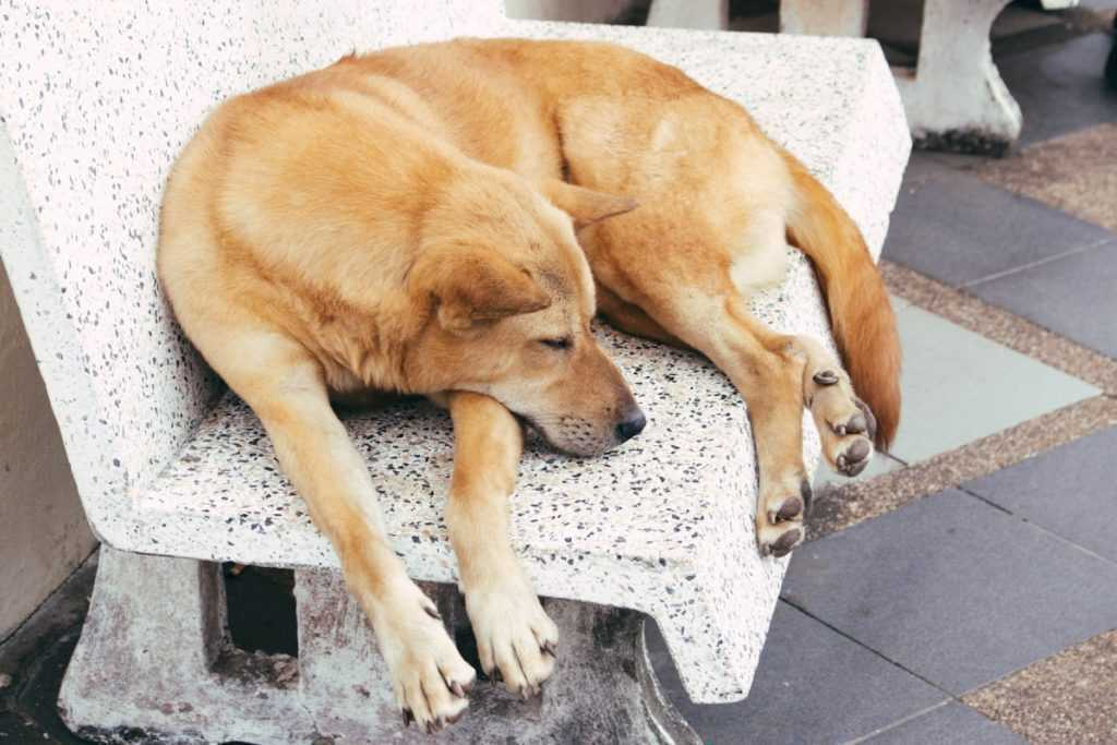 Sleeping dog in temple