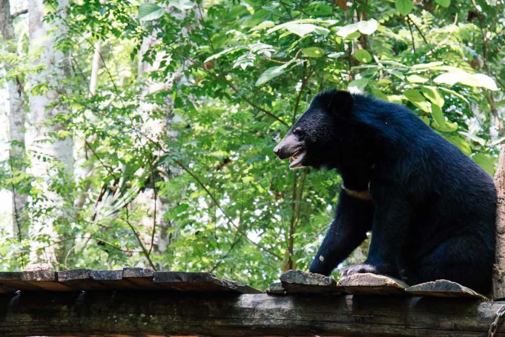 Bear in rescue center at Kuang Si waterfall in Lao