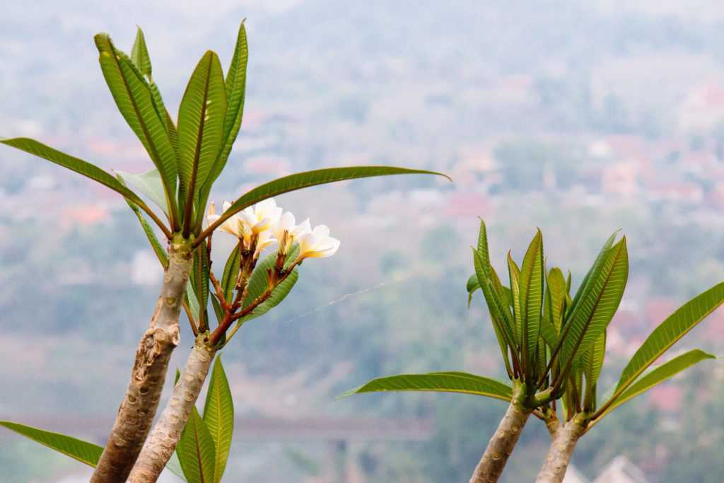 flowers on top of phousi mountain luang prabang lao