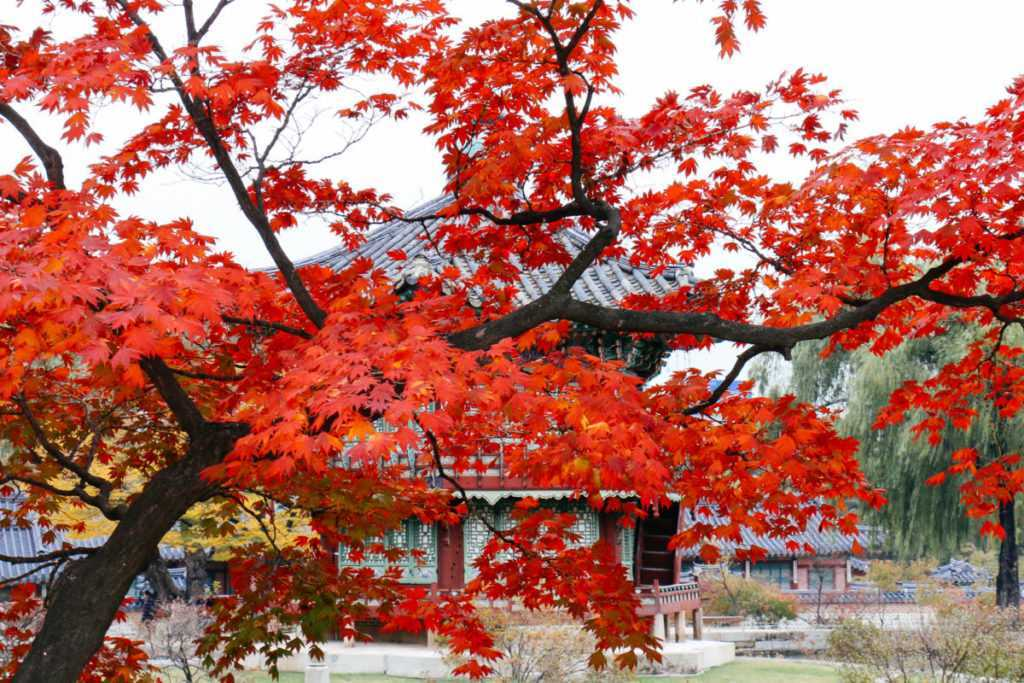 herbstlaub im gyeongbokgung palast seoul korea