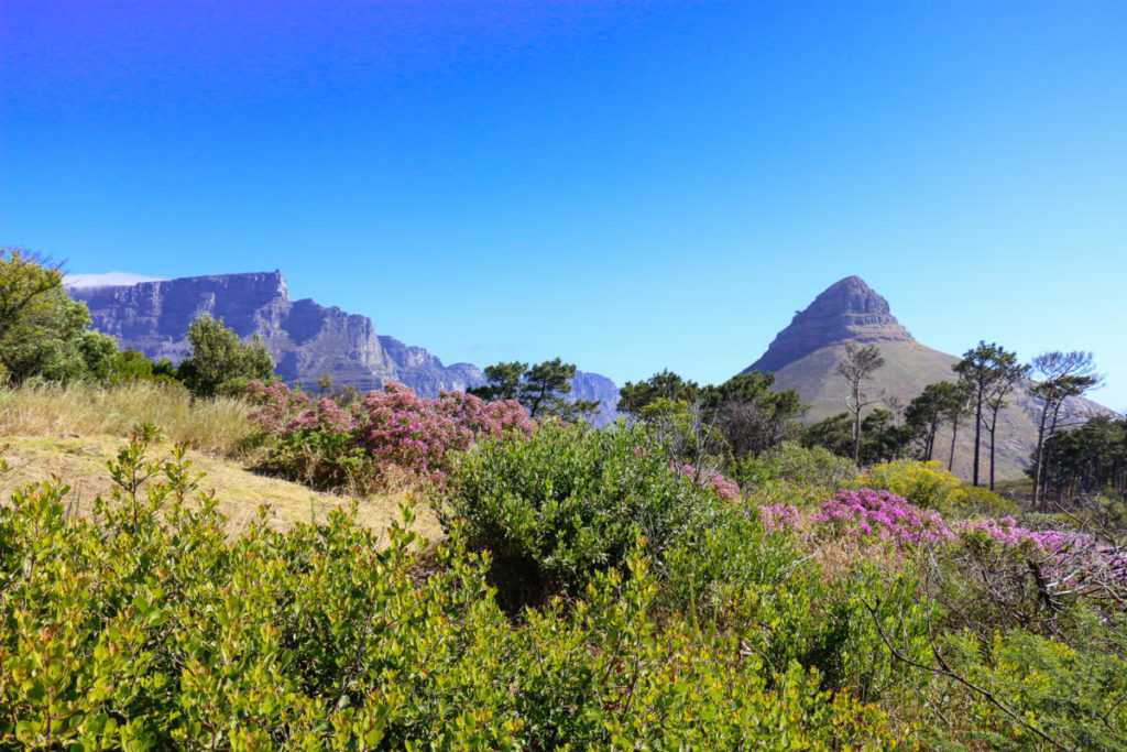 table mountain lions head