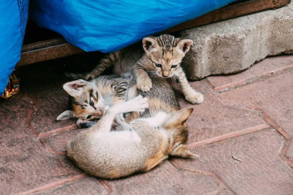 spielende katzenbabys in indien