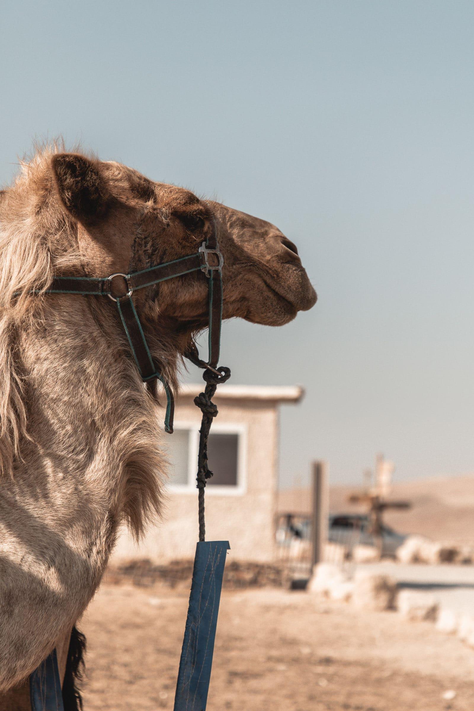 Masada Kamele