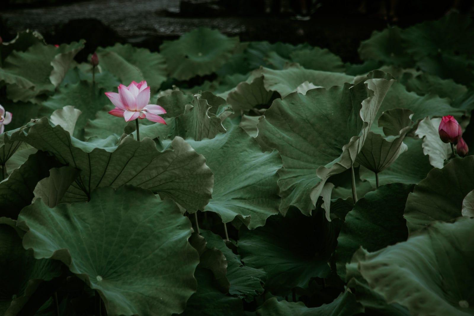 Suzhou Garten des bescheidenen Beamten Teich mit Lotusblüten