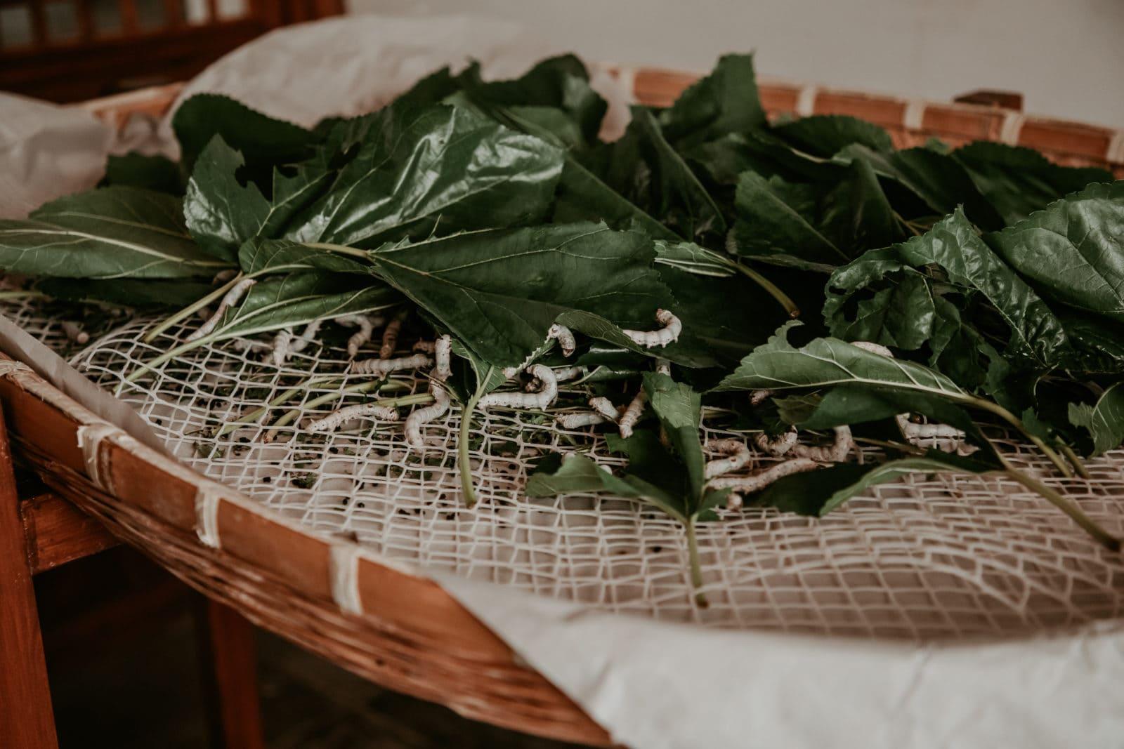 Suzhou Sehenswürdigkeiten Seidenfabrik Seidenraupen auf Blättern