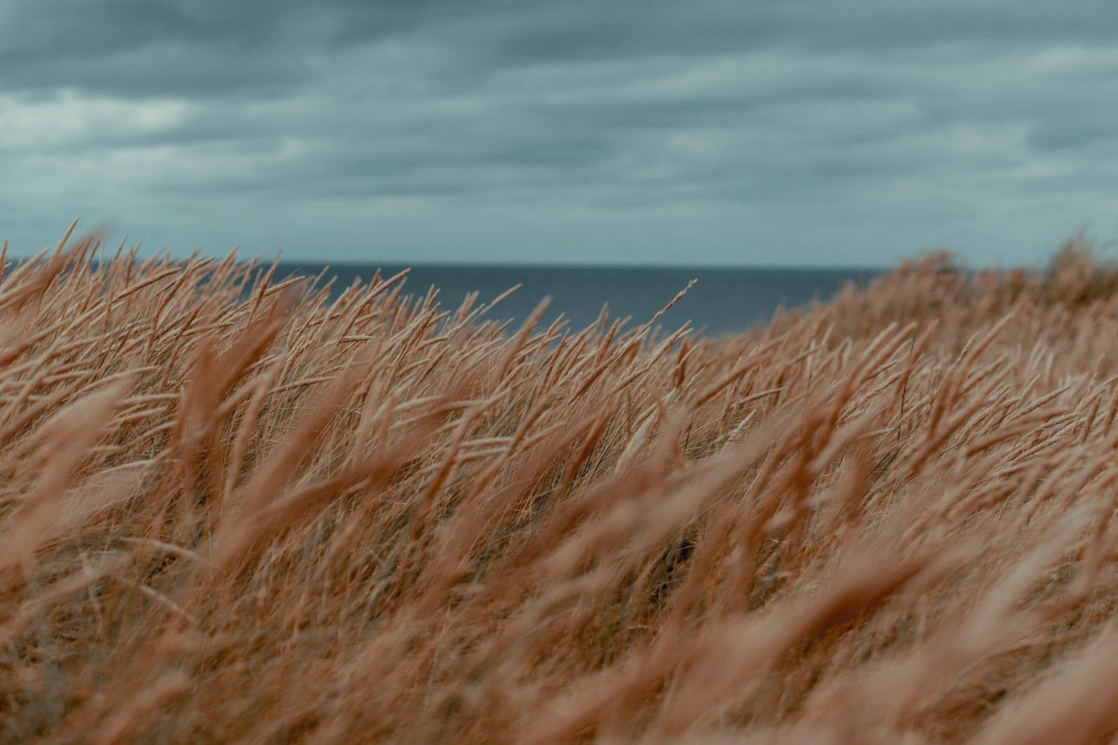 Gras in den Dünen auf Sylt im Klappholtal